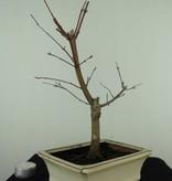 Bonsai Jap. Fächerahorndeshojo, Acer palmatum deshojo, nr. 7407