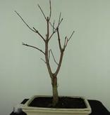 Bonsai Acer palmatum deshojo, Japanse esdoorn, nr. 7409