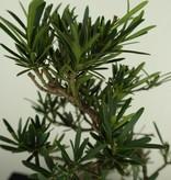 Bonsai Chin. Steineibe, Podocarpus, nr. 7413
