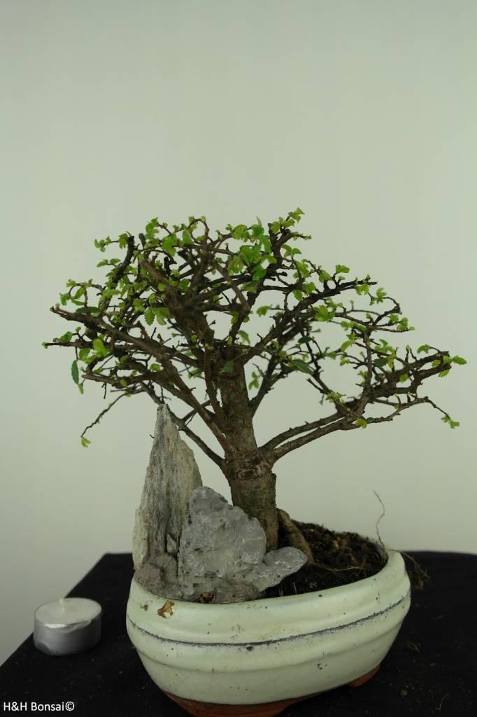 Bonsai Chin. Ulme mit Stein, Ulmus, nr. 7433