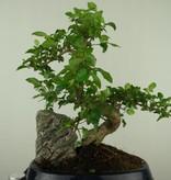Bonsai Ligustrum mit Stein, Liguster, nr. 7441