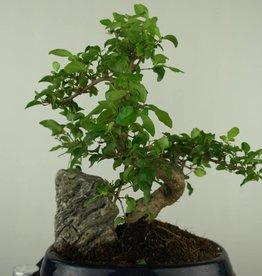 Bonsai Privet with rock,Ligustrum nitida, no. 7441