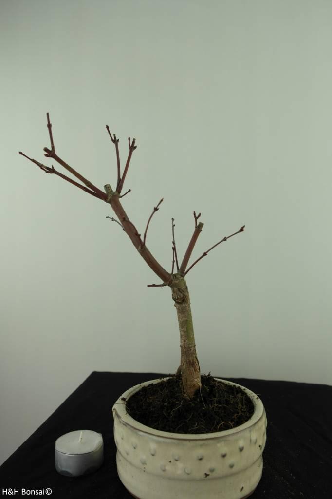 Bonsai Jap. Fächerahorndeshojo, Acer palmatum deshojo, nr. 7472