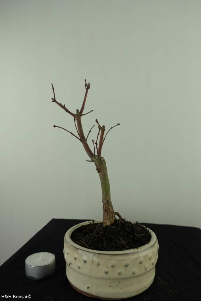 Bonsai Japanese Red Maple, Acer palmatum deshojo, no. 7472
