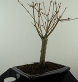 Bonsai Japanese Maple Batafurai, Butterfly, no. 7489