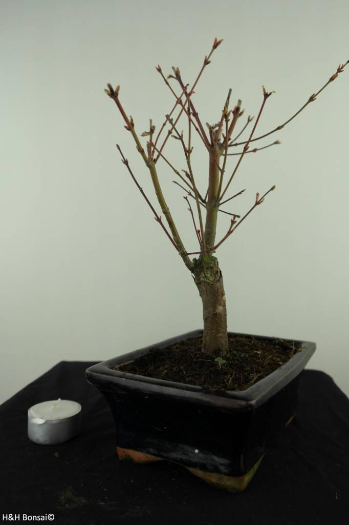 Bonsai Acer palmatum Batafurai, Butterfly, nr. 7490