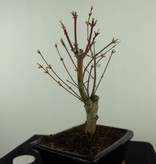 Bonsai Japanese Maple Batafurai, Butterfly, no. 7491
