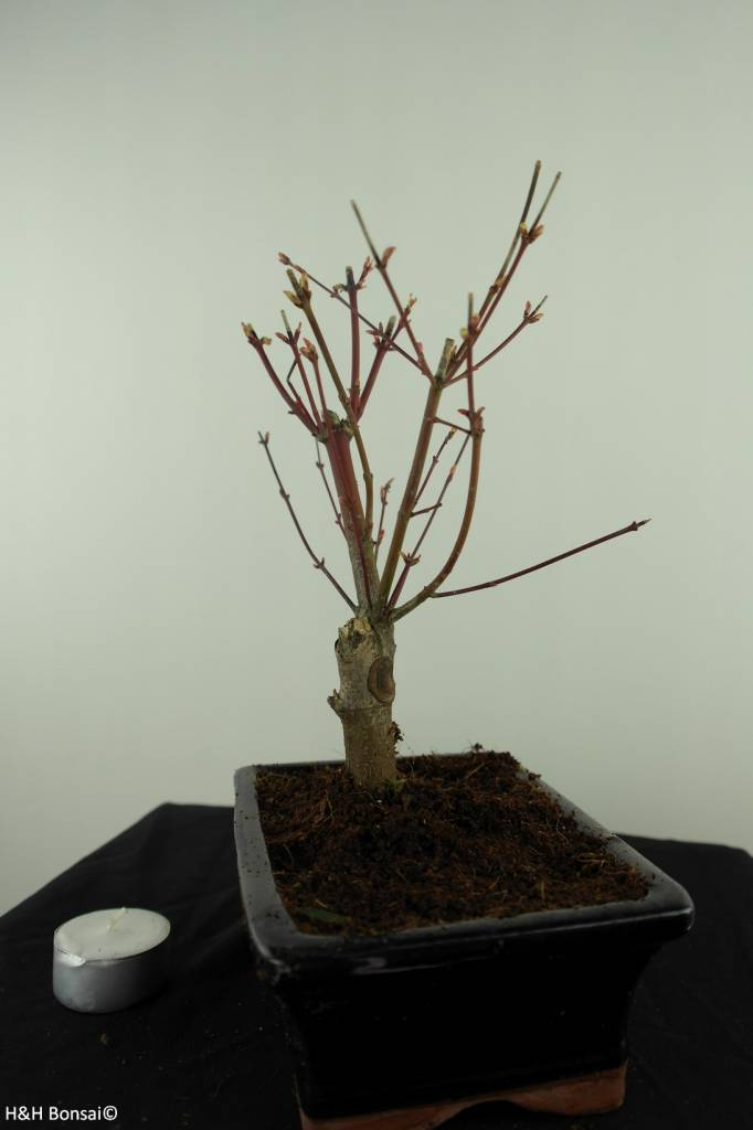 Bonsai L'Erable du Japon, Acer Palmatum Batafurai, no. 7491