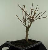 Bonsai Acer palmatum Batafurai, Butterfly, nr. 7492