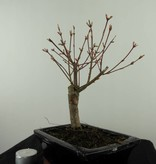 Bonsai Japanese Maple Batafurai, Butterfly, no. 7492