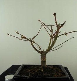 Bonsai Acer palmatum Batafurai, Butterfly, nr. 7494