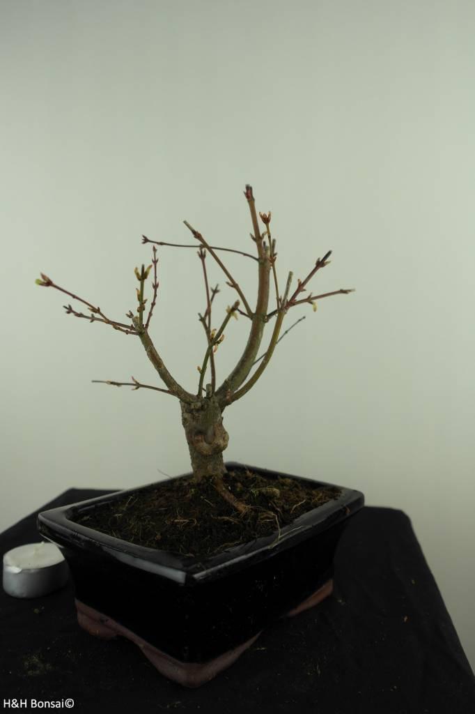 Bonsai L'Erable du Japon,Acer PalmatumBatafurai, no. 7494