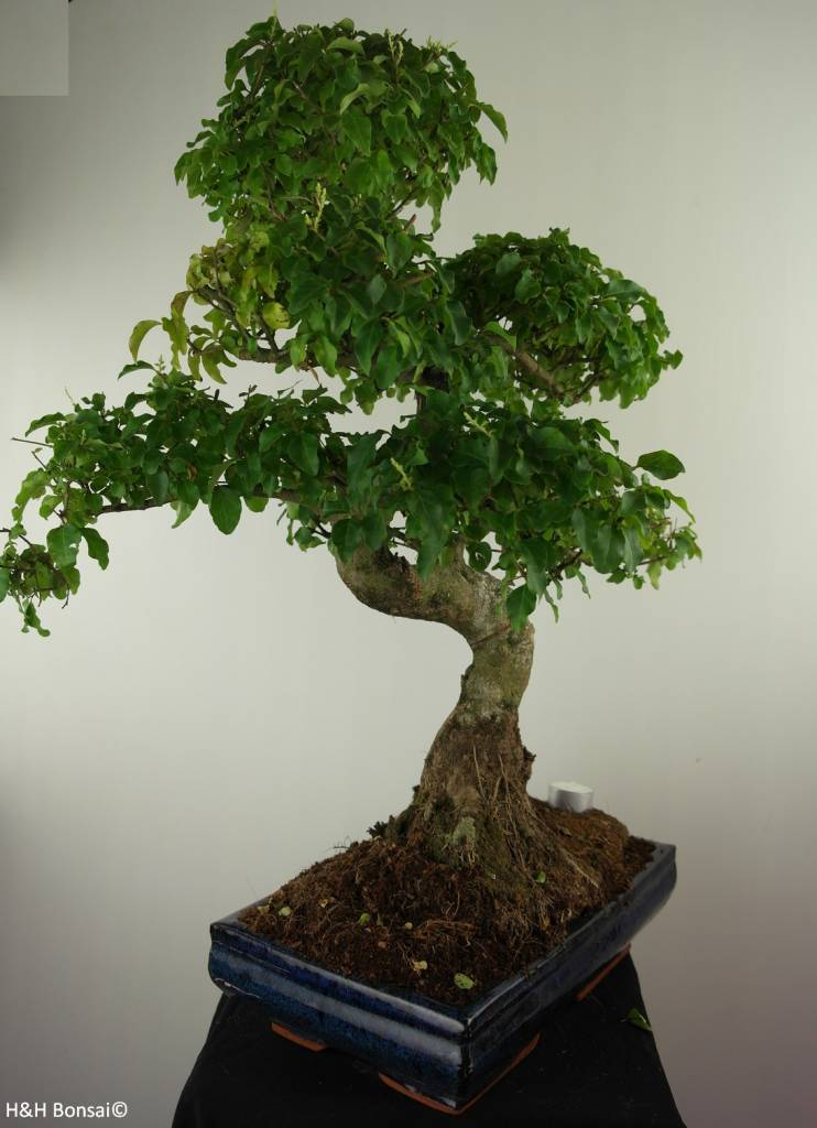 Bonsai Ligustrum nitida, nr. 7499