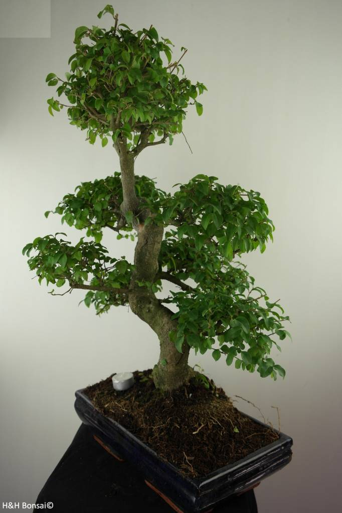 Bonsai Privet, Ligustrum nitida, no. 7500