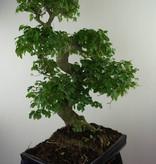 Bonsai Ligustrum nitida, Liguster, nr. 7500