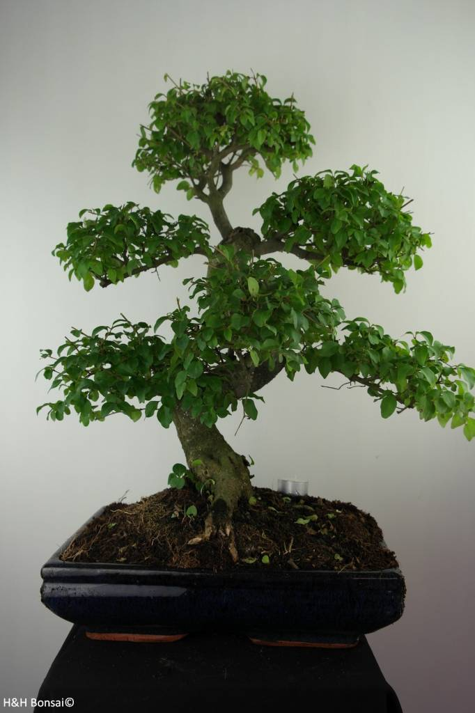 Bonsai Ligustrum nitida, nr. 7500