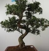 Bonsai Chin. Steineibe, Podocarpus, nr. 7501