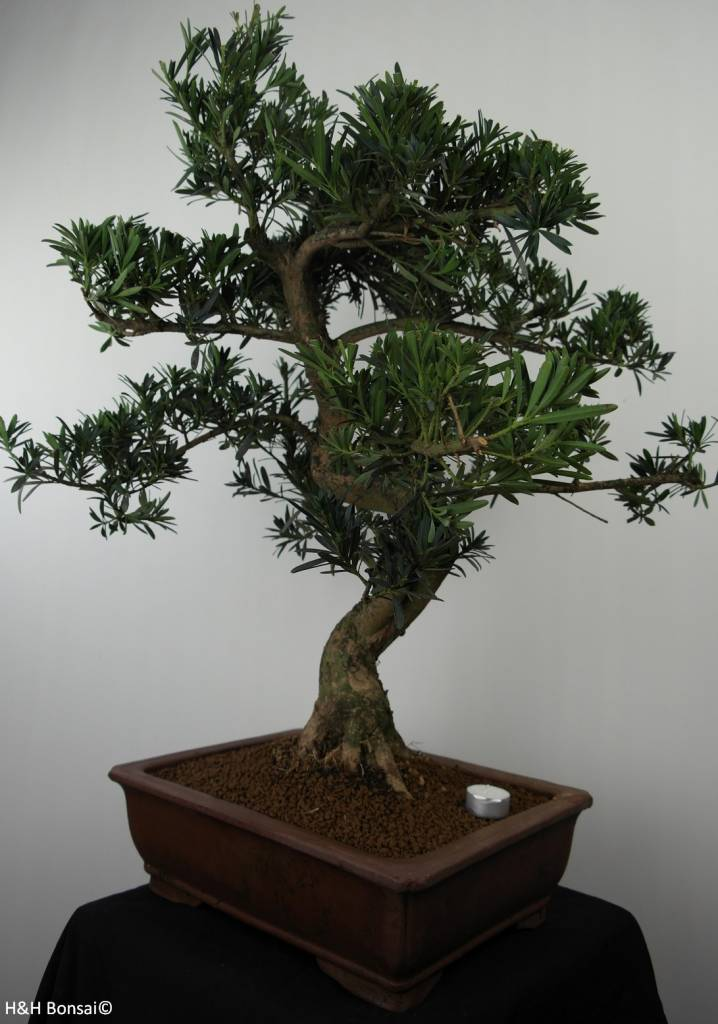 Bonsai Pin des Bouddhistes, Podocarpus, no. 7501