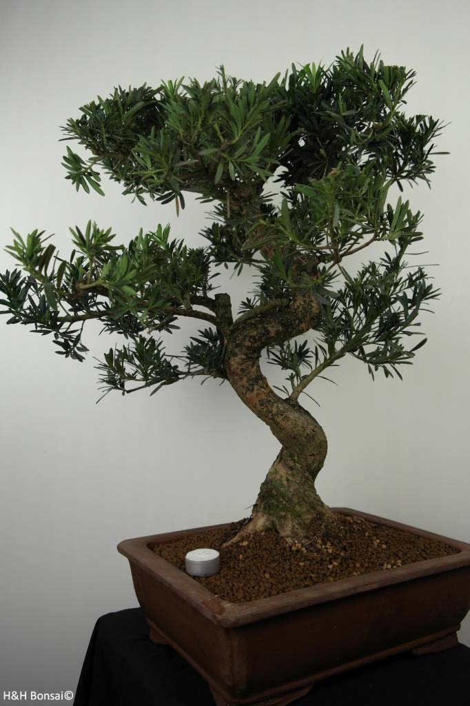 Bonsai Podocarpus, Japanse boeddha den, nr. 7501