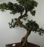 Bonsai Pin des Bouddhistes, Podocarpus, no. 7503