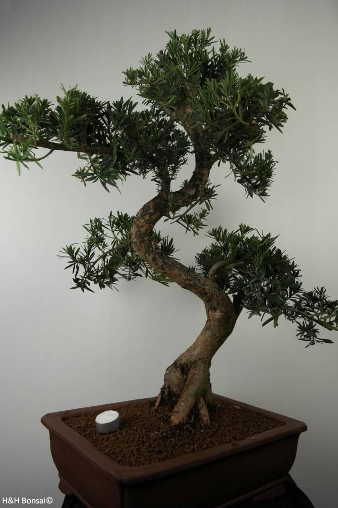 Bonsai Chin. Steineibe, Podocarpus, nr. 7503