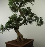Bonsai Podocarpus, Japanse boeddha den, nr. 7503