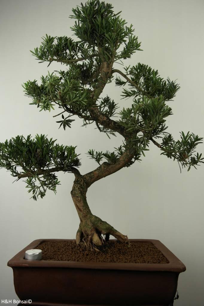 Bonsai Chin. Steineibe, Podocarpus, nr. 7504