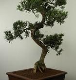 Bonsai Podocarpus, Japanse boeddha den, nr. 7504