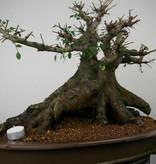 Bonsai Ulmus, Chinese Iep, nr. 7509