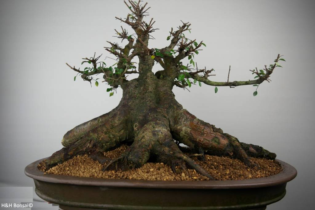 Bonsai Chin. Ulme, Ulmus, nr. 7509
