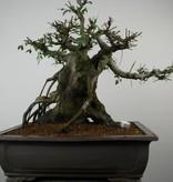 Bonsai Orme de Chine, Ulmus, no. 7510