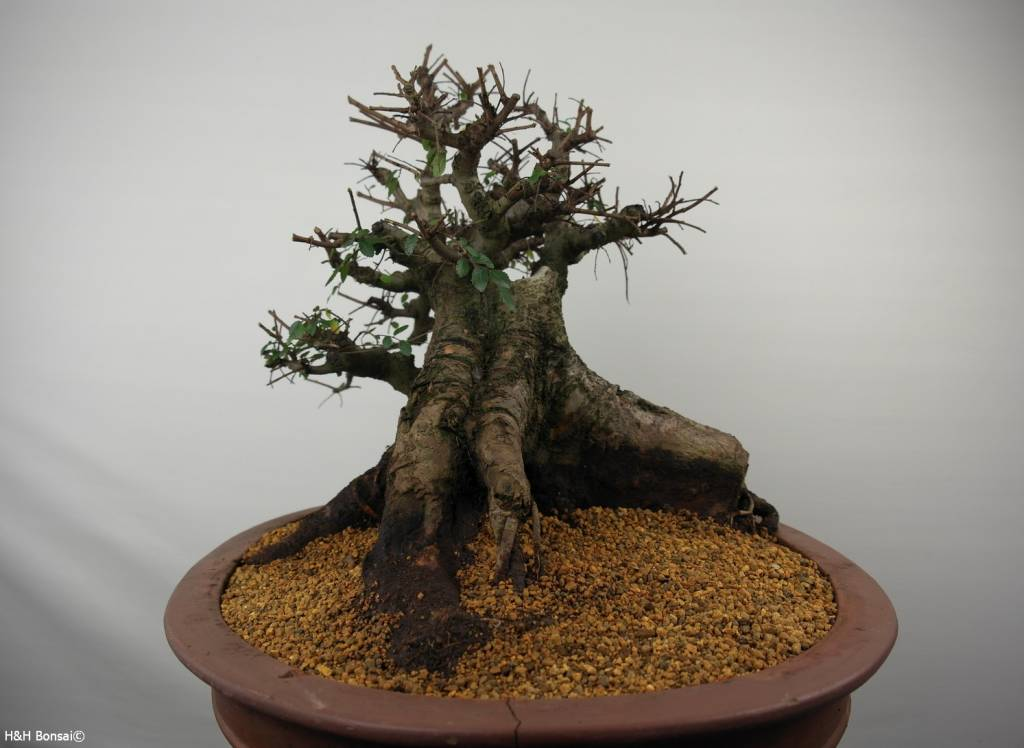 Bonsai Chinese Elm, Ulmus, no. 7511