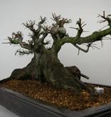 Bonsai Ulmus, Chinese Iep, nr. 7513