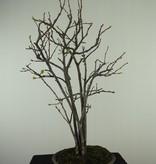 Bonsai Chaenomeles sinensis, nr. 7511A