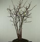 Bonsai Chaenomeles sinensis, nr. 7512A
