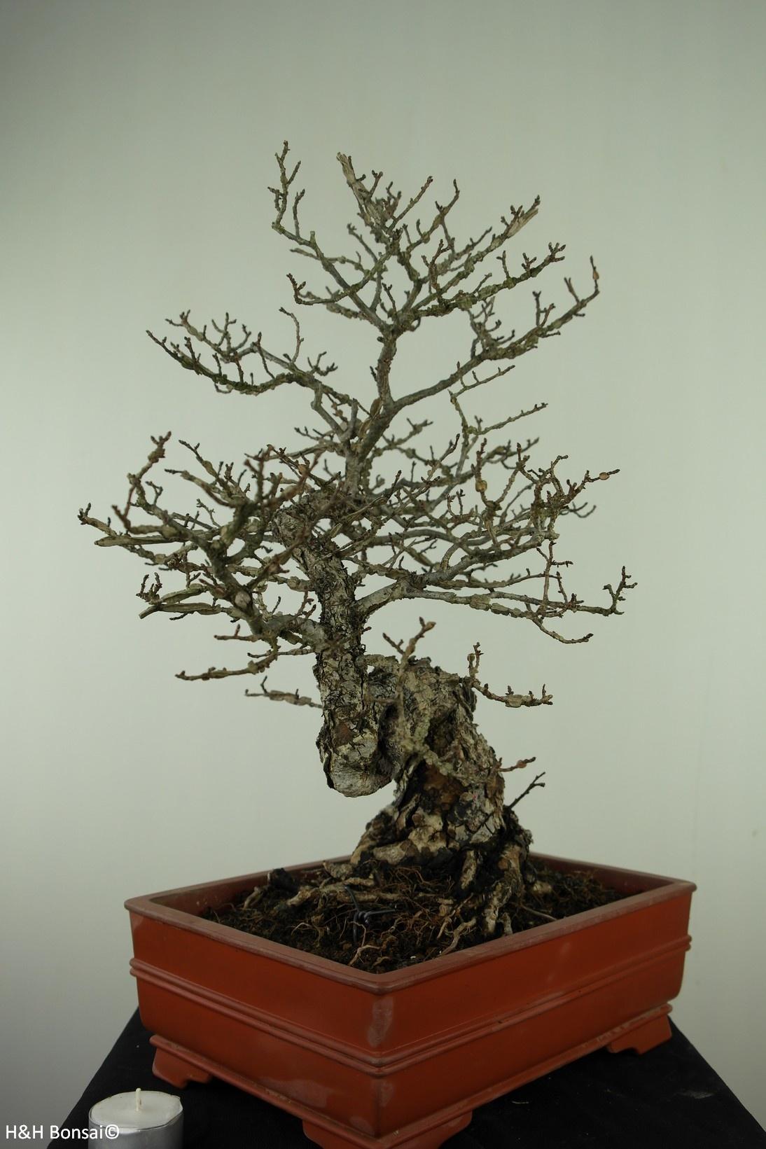 Bonsai Euonymus alatus, nr. 7514