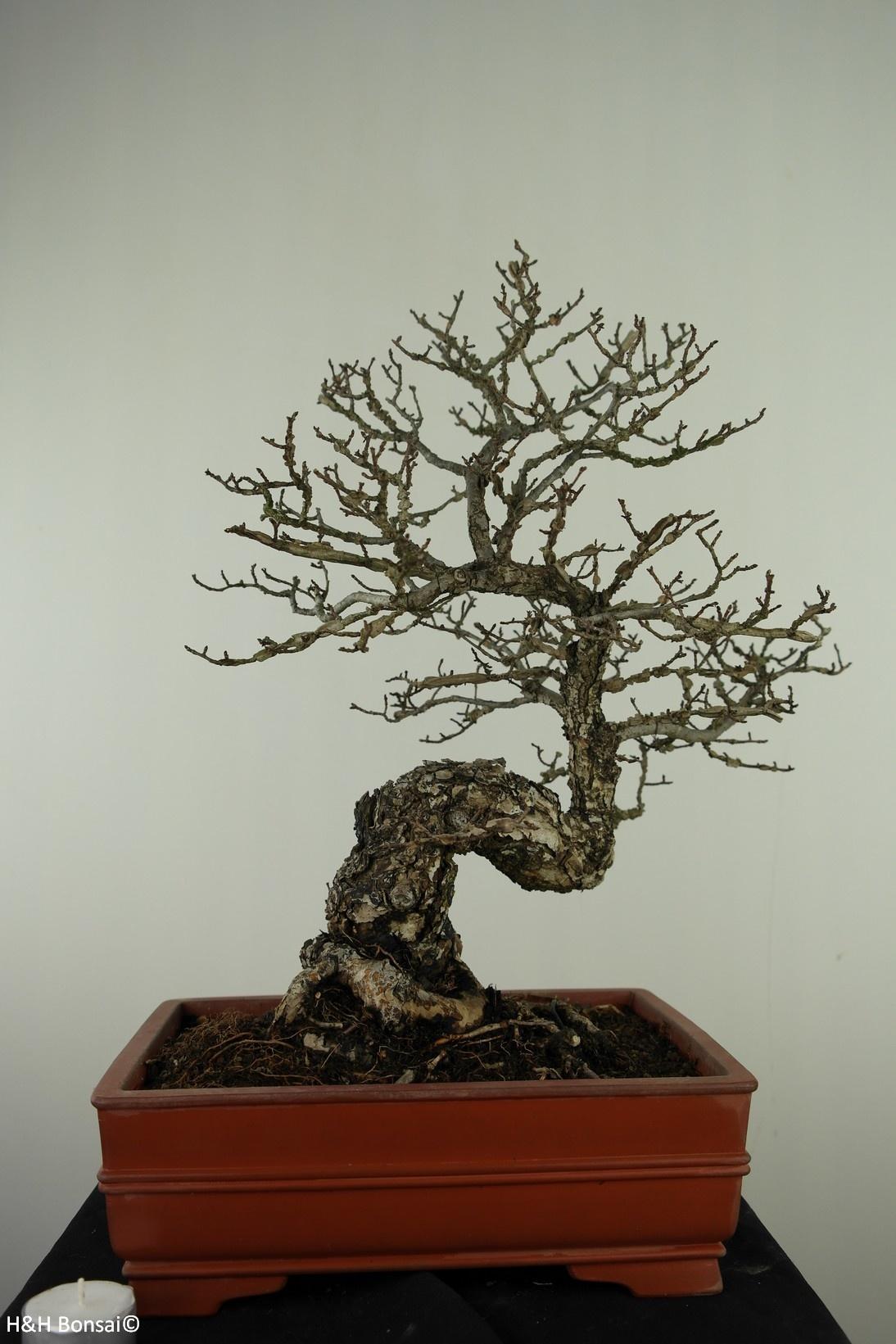 Bonsai Winged Spindle, Euonymus alatus, no. 7514