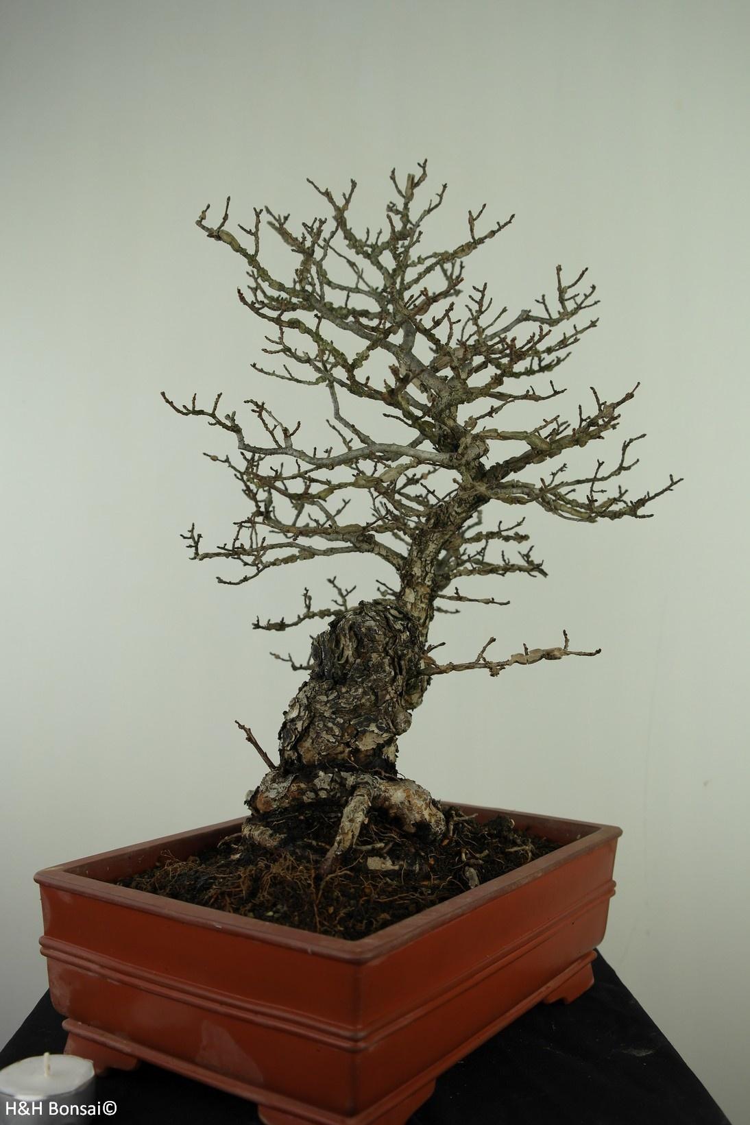 Bonsai Flügel-Spindelstrauch, Euonymus alatus, nr. 7514