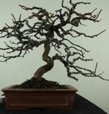 Bonsai Cognassier de Chine, Pseudocydonia sinensis, no. 7515