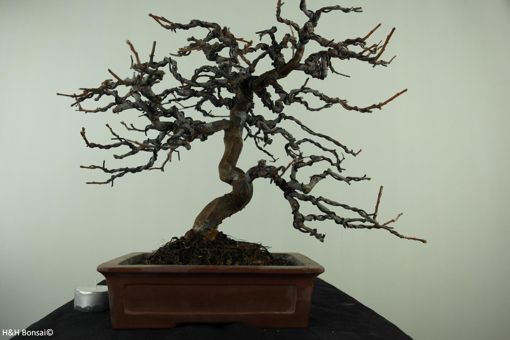 Bonsai Pseudocydonia sinensis, nr. 7515