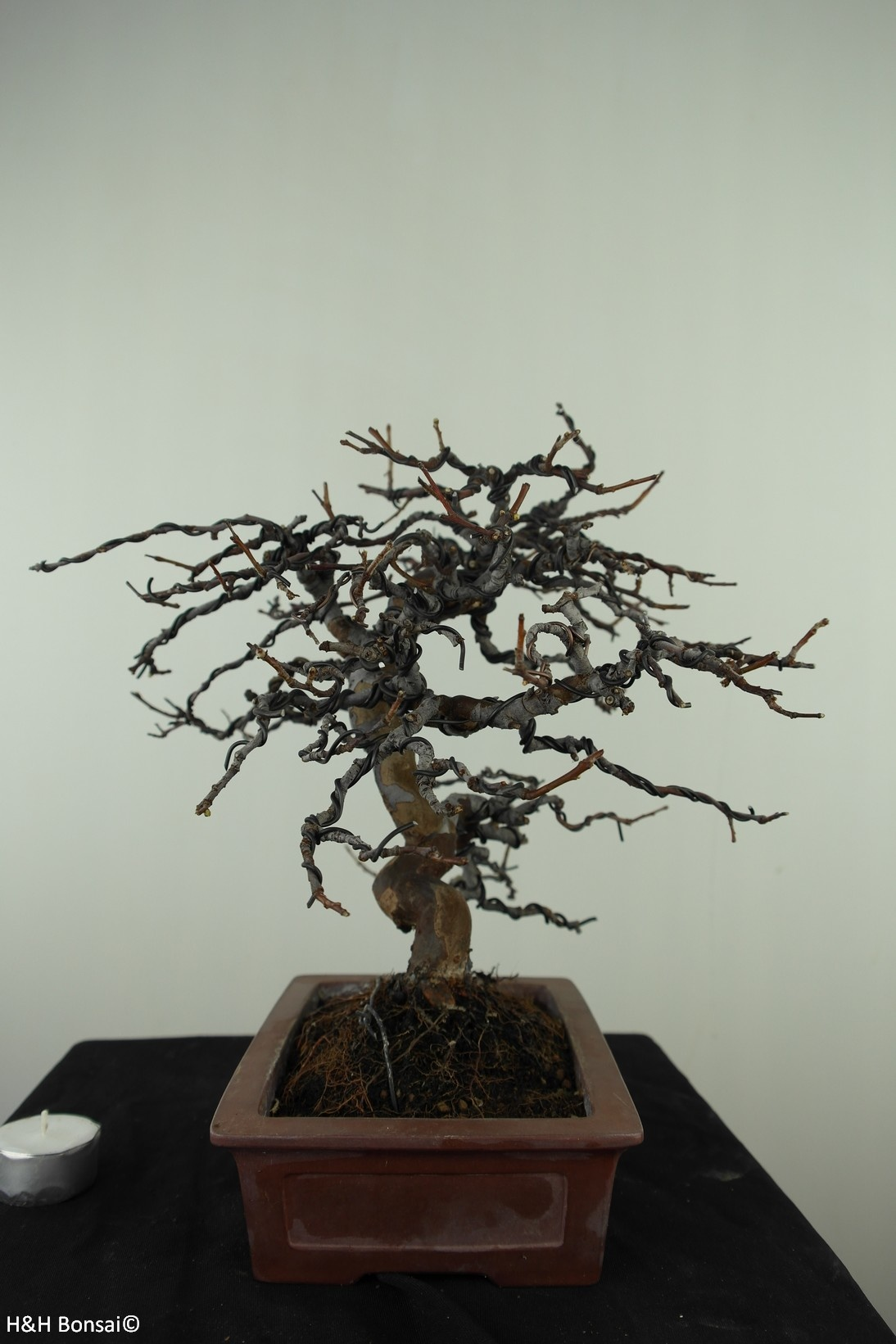 Bonsai Chin. Quitte, Pseudocydonia sinensis, nr. 7515