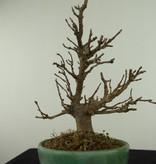Bonsai Shohin Acer buergerianum, Drietands Esdoorn, nr. 7516