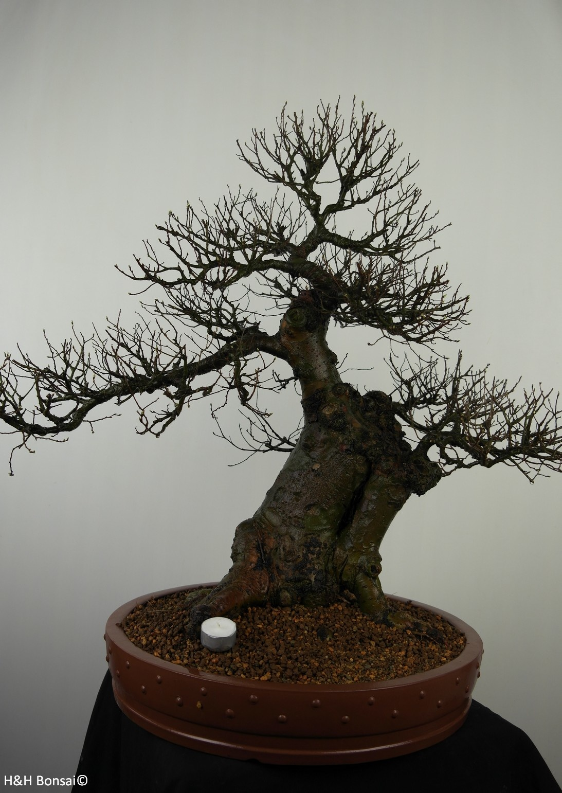 Bonsai Orme de Chine, Ulmus, no. 7519