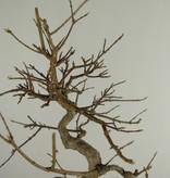 Bonsai Dreispitzahorn, Acer buergerianum, nr. 7520