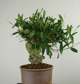 Bonsai Gardenia, Kaapse jasmijn, nr. 7521
