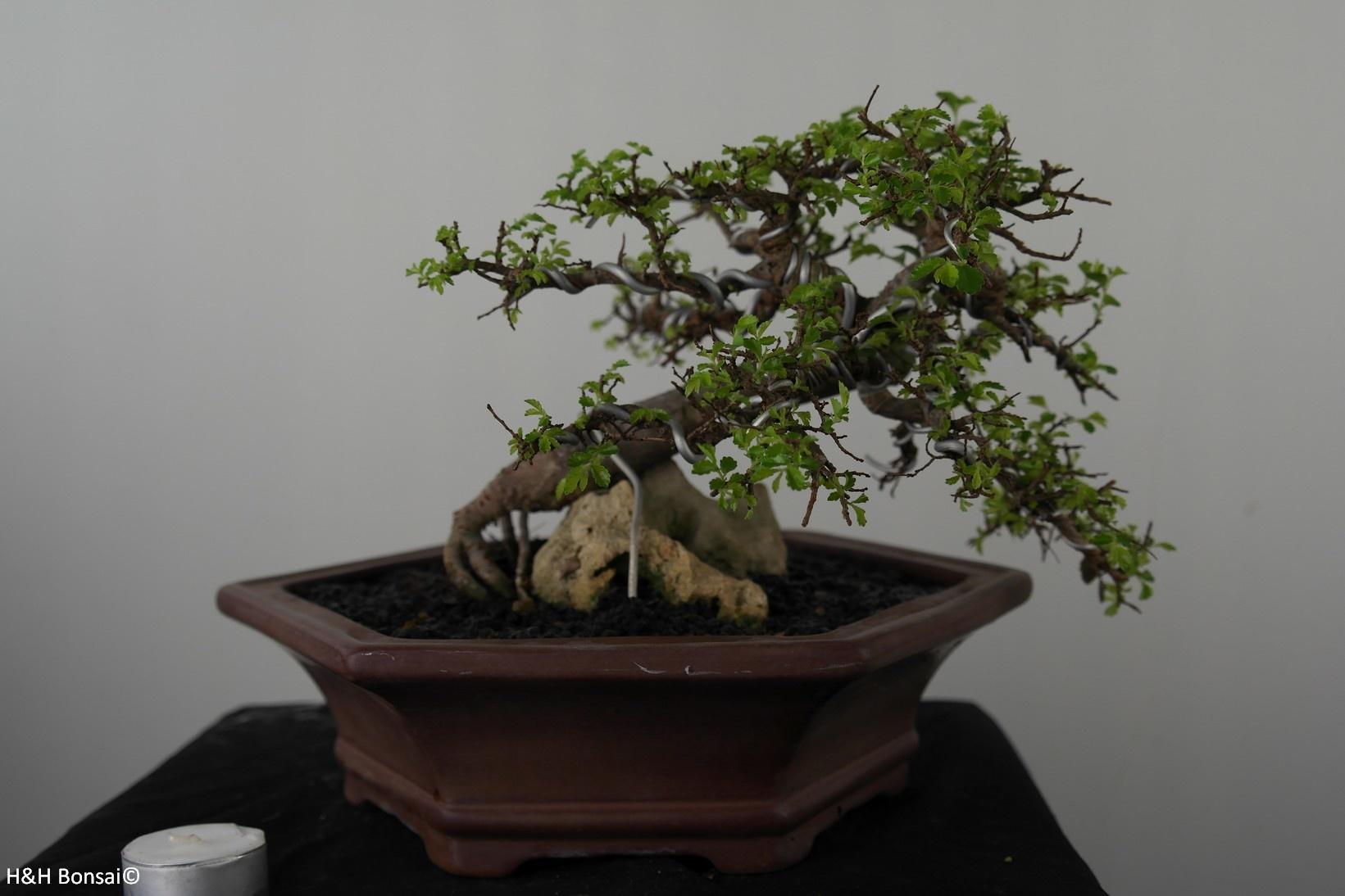 Bonsai Zelkova, nr. 7531