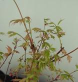 Bonsai Acer palmatum Batafurai, Butterfly, nr. 7544
