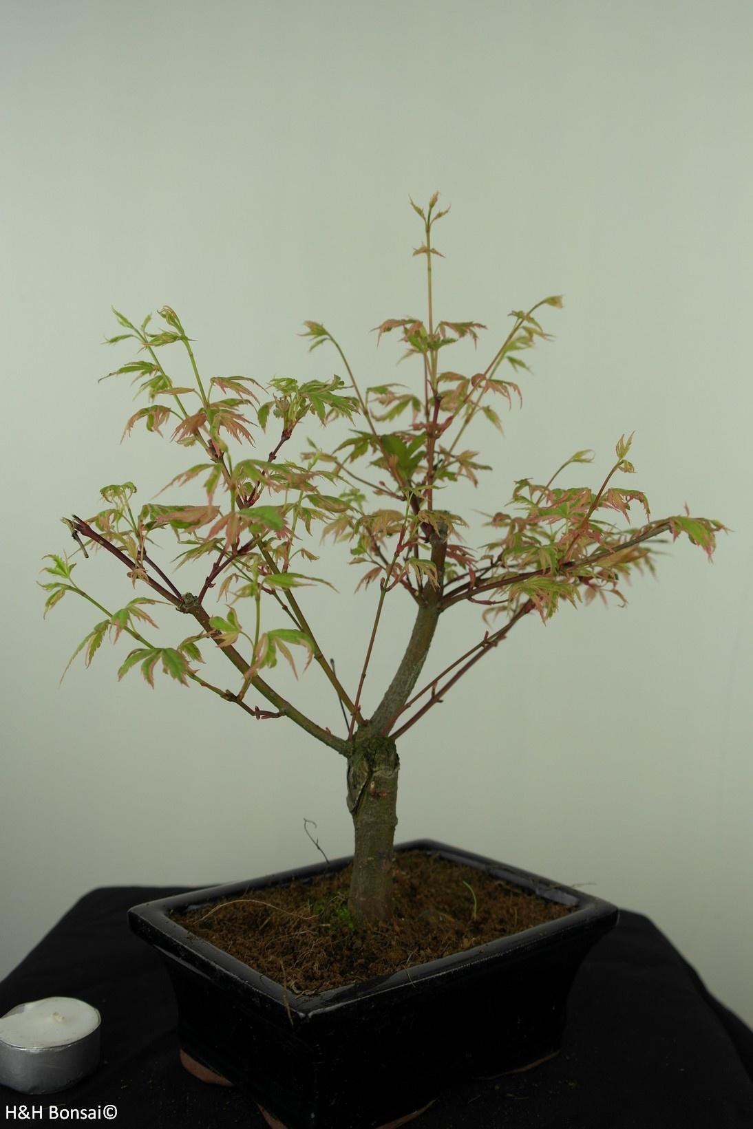 Bonsai Acer palmatum Batafurai, Butterfly, nr. 7548