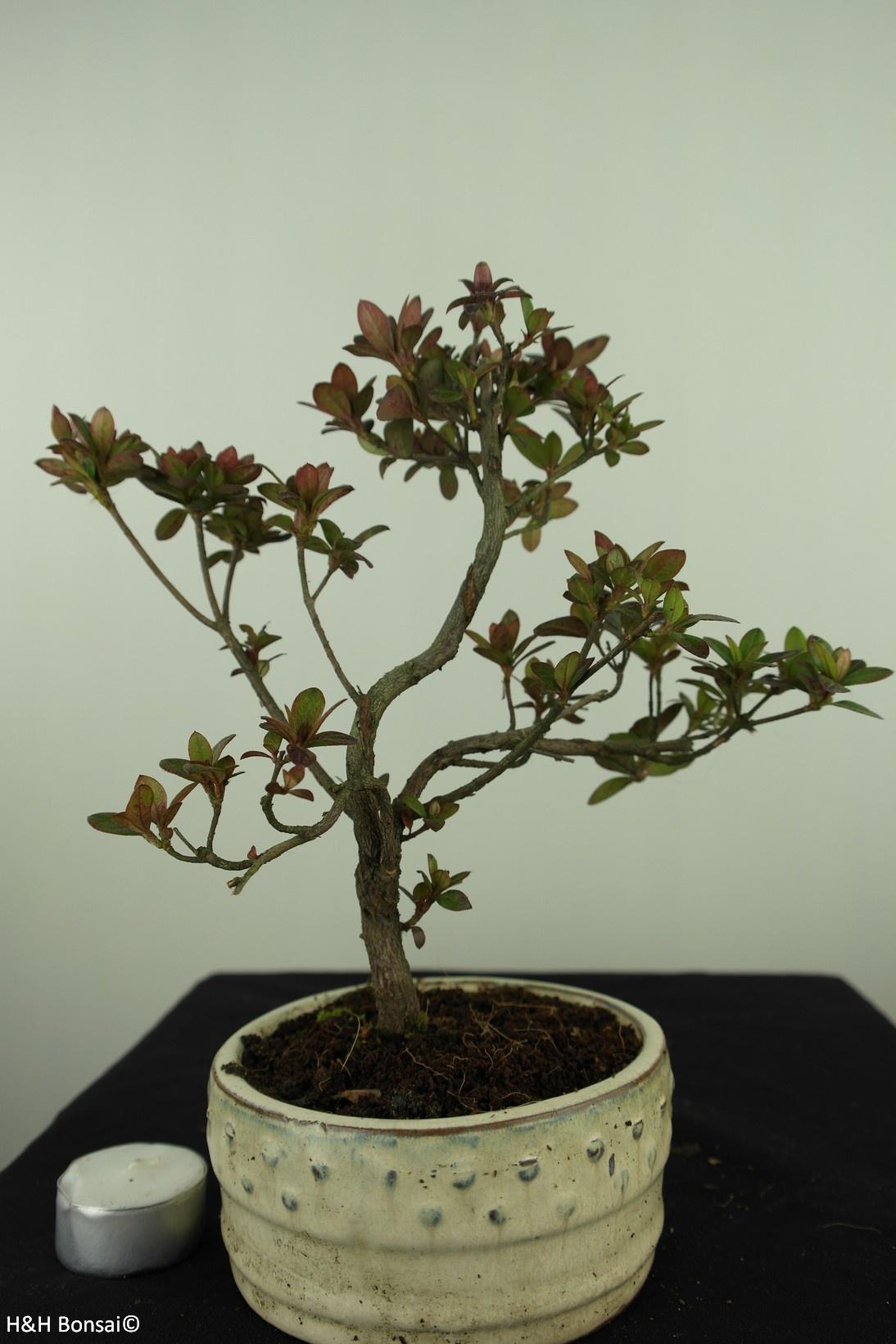 Bonsai Azalee, Azalea Rhododendron indicum, nr. 7578