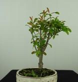 Bonsai Pomegranate, Punica granatum, no. 7588